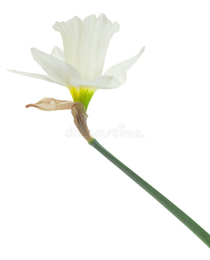 De bloem van de narcissenlente op wit royalty-vrije stock foto