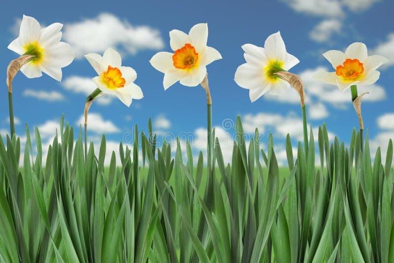 De bloem van de narcissenlente op wit royalty-vrije stock foto's