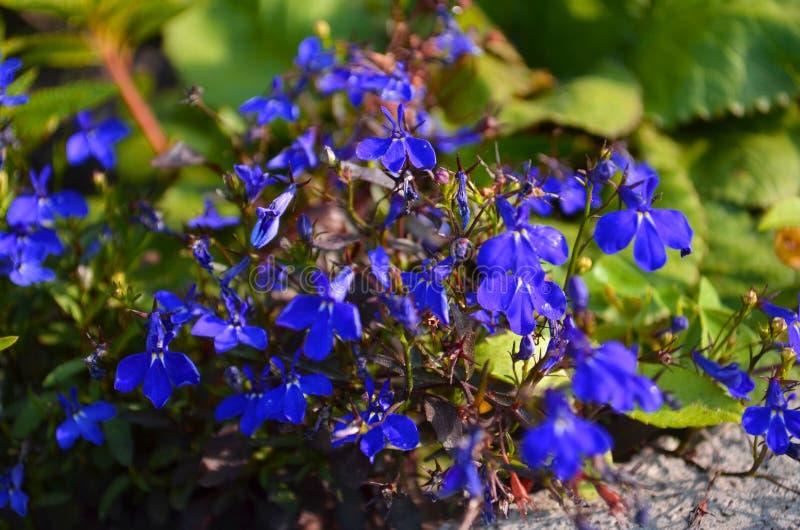 De bloem van de Nemophilalente stock foto