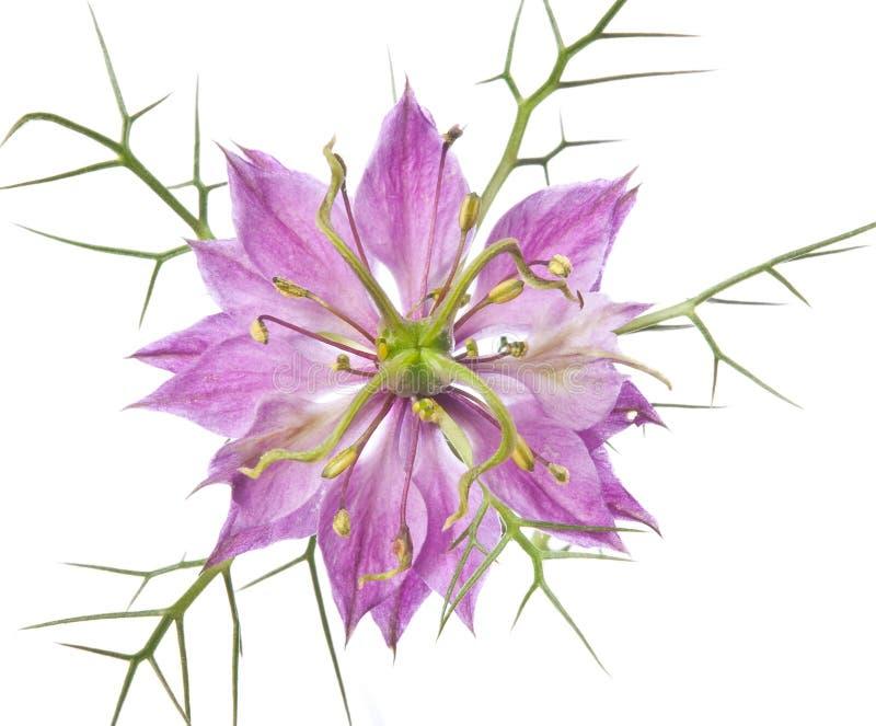 De bloem van Nigella in detail stock foto
