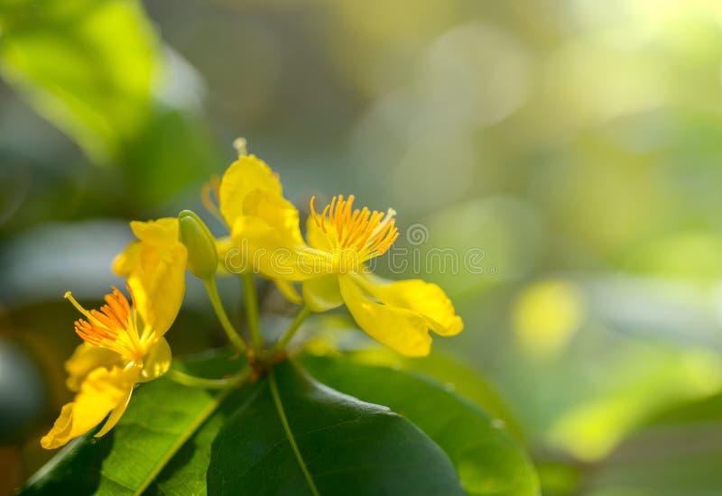 De bloem van Ochnaintegerrima royalty-vrije stock afbeelding