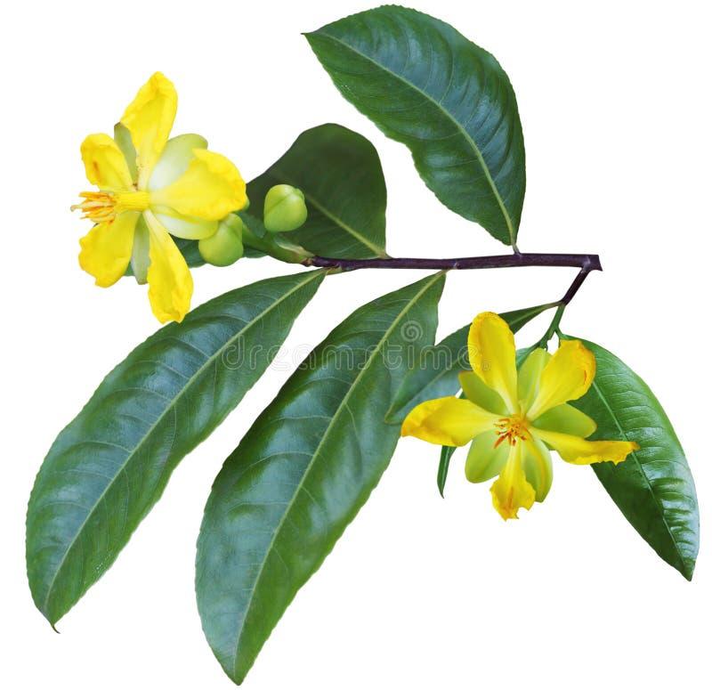 De bloem van Ochnaintegerrima royalty-vrije stock foto's