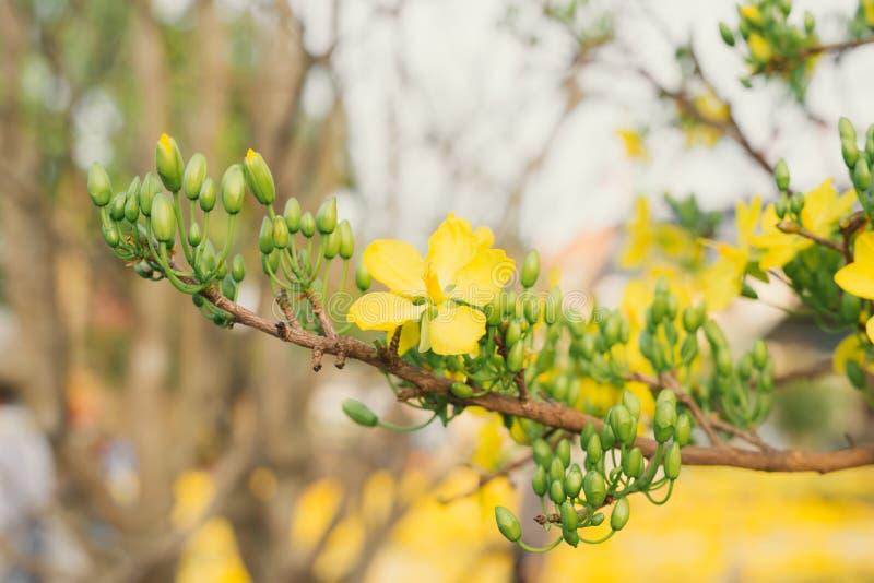 De bloem van Ochnaintegerrima algemeen of geel MAI Ochnaintegerrima is symbool samen van Vietnamees traditioneel maannieuwjaar stock afbeeldingen