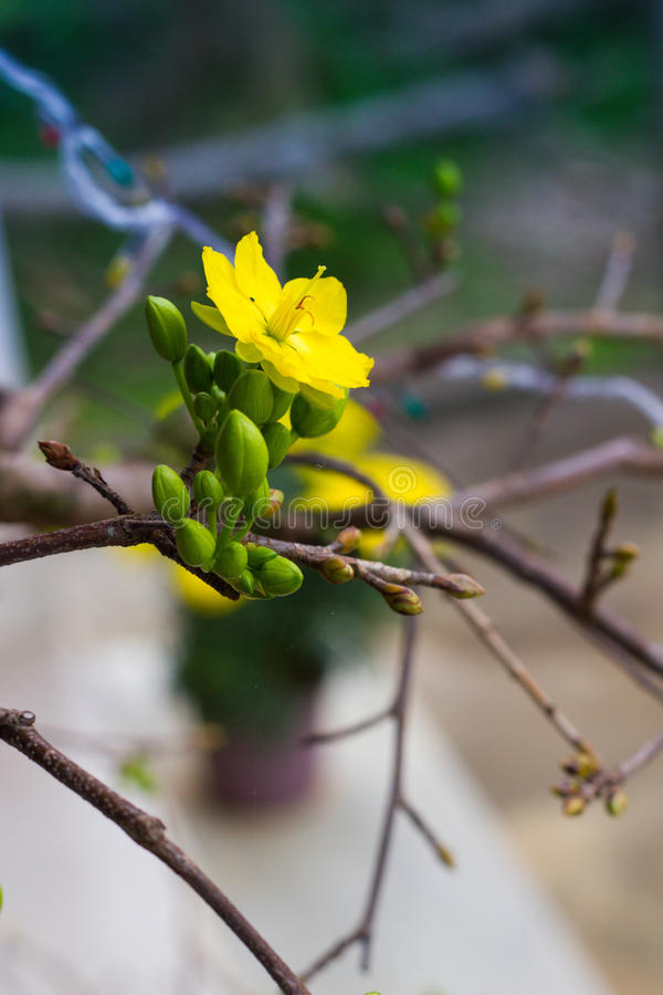 De bloem van Ochnaintegerrima, het symbool van Vietnamees traditioneel maannieuwjaar samen met perzik bloeit MAI-bloem in Vietnam stock fotografie