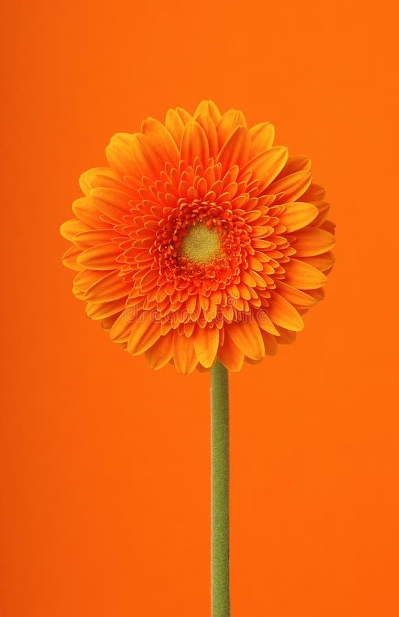 De bloem van Orangegerber stock foto's