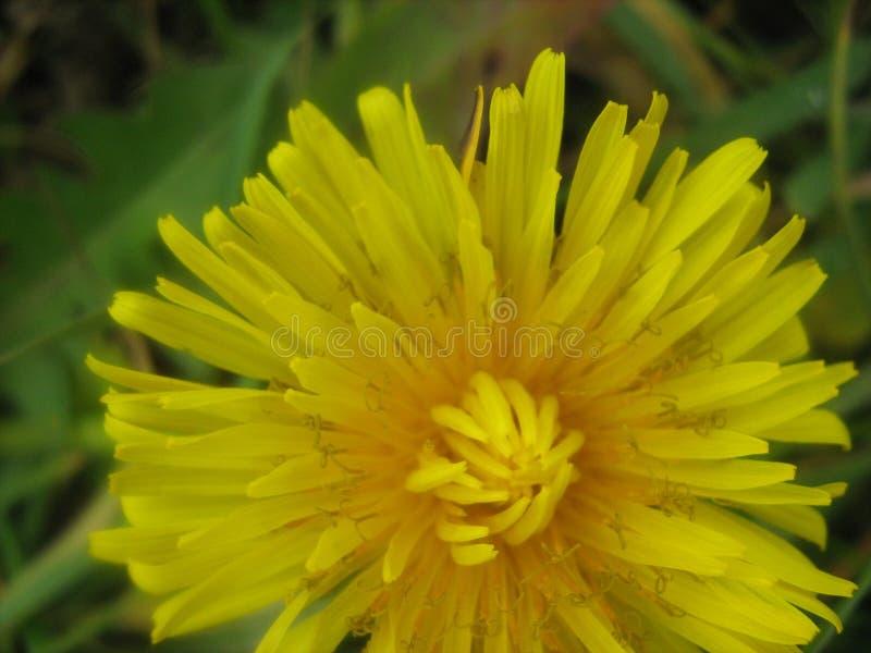De bloem van paardebloemtaraxacum officinale in tuin royalty-vrije stock afbeelding