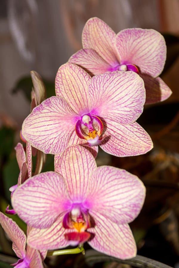 De bloem van de Phalaenopsisorchidee stock foto
