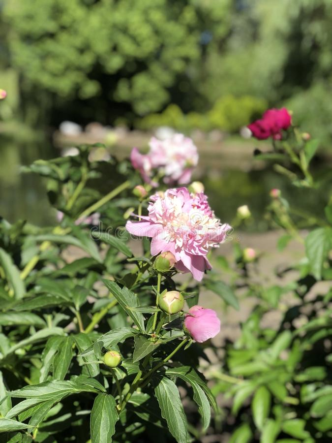 De bloem van de pioen royalty-vrije stock afbeeldingen