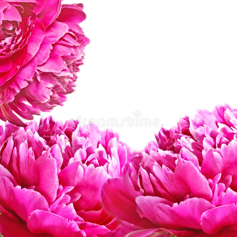 De bloem van pioenen stock foto's