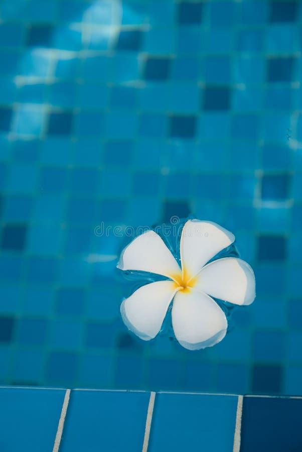 De bloem van Plumeria het drijven royalty-vrije stock foto