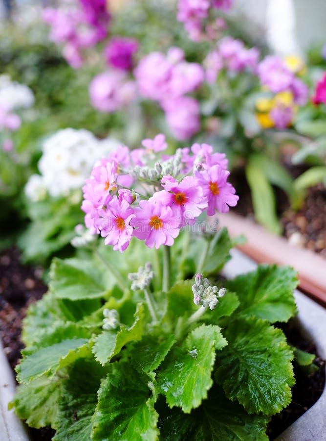 De bloem van primulasieboldii royalty-vrije stock fotografie