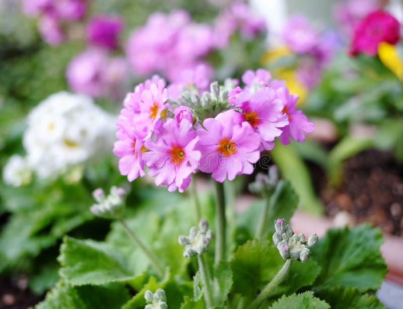De bloem van primulasieboldii royalty-vrije stock afbeelding