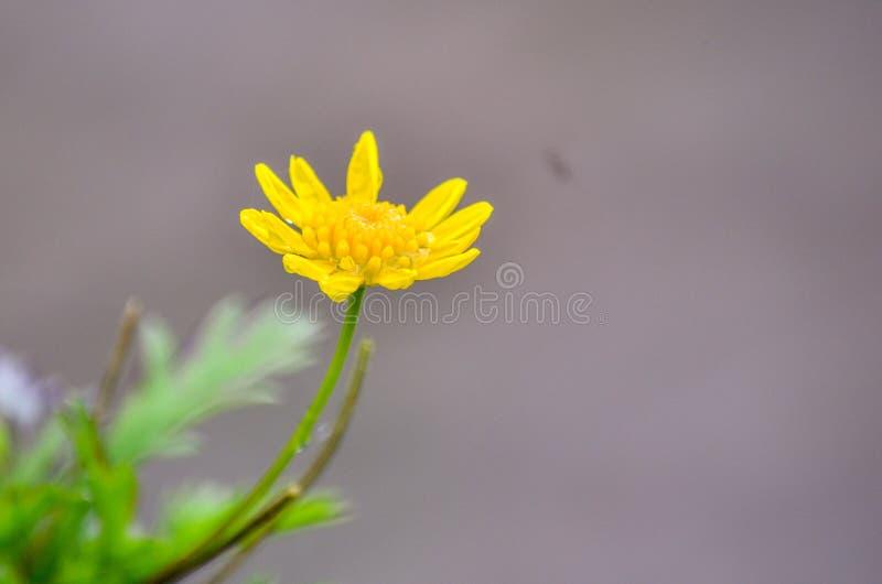 De bloem van de regenwoudgele narcis stock foto's