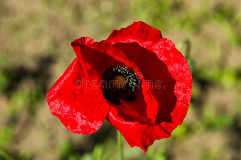 De bloem van rode papaverclose-up op vage achtergrond royalty-vrije stock afbeeldingen