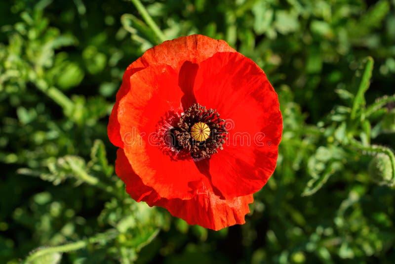De bloem van rode papaverclose-up op vage achtergrond stock foto