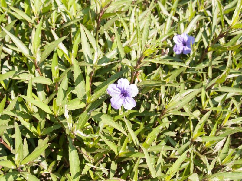 De bloem van Ruelliatuberosa in de tuin met vage achtergrond stock foto