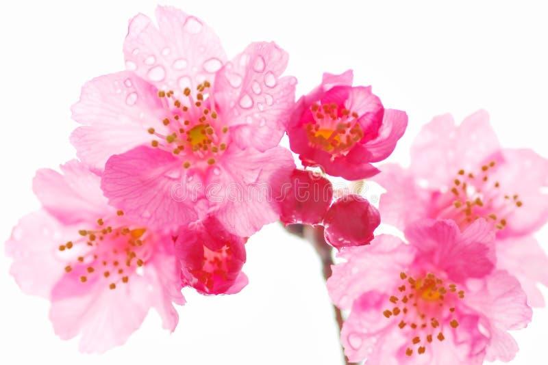 De bloem van Sakura royalty-vrije stock foto's