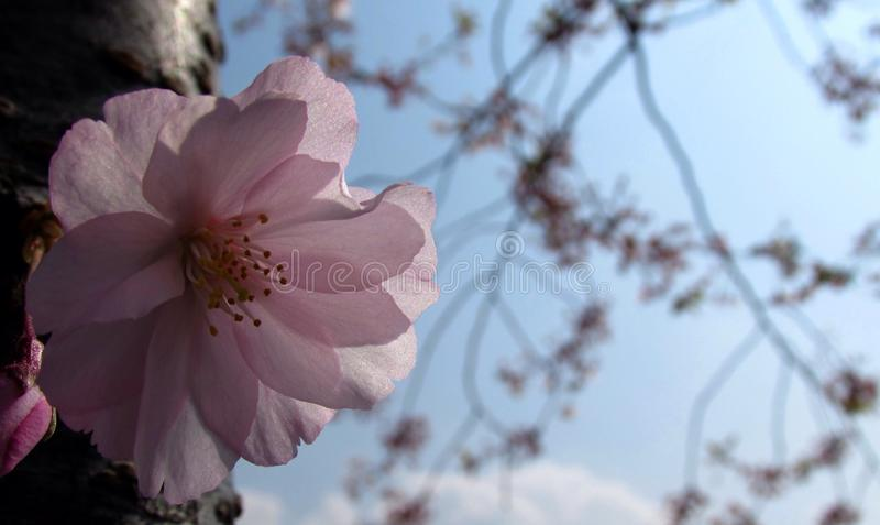 De Bloem van Sakura stock fotografie