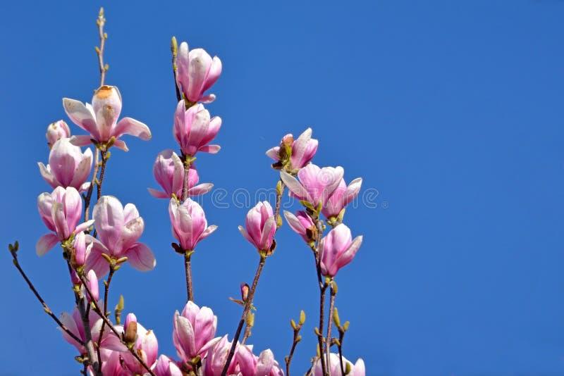 De bloem van de schotelmagnolia komt op boom in de vroege lente voor duidelijke blauwe hemel tot bloei royalty-vrije stock afbeelding