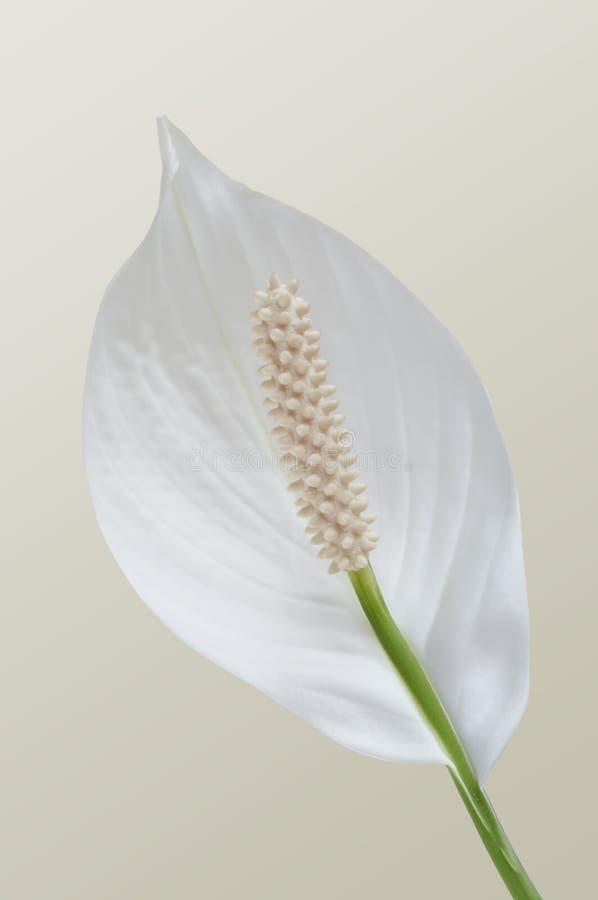 De bloem van Spathiphyllum royalty-vrije stock afbeelding