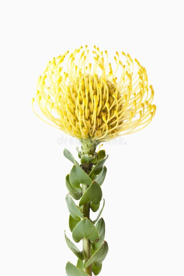 De bloem van speldenkussenprotea (Leucospermum-cordifolium), close-up stock foto's