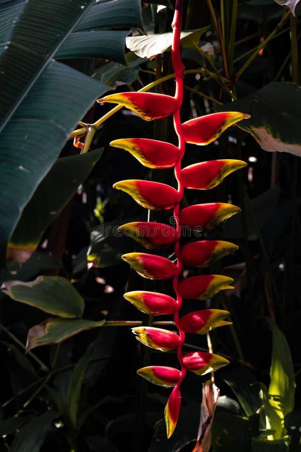 De bloem van Thailand Heliconia Tropische Bloem stock afbeelding