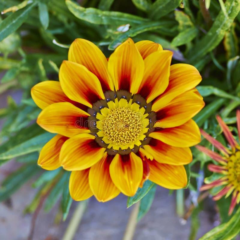 de bloem van tijgergazania, bloemenachtergrond royalty-vrije stock afbeelding