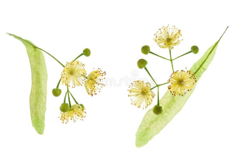 De bloem van de twee die Lindeboom met bloemblaadjes op witte achtergrond, close-up worden geïsoleerd royalty-vrije stock foto's