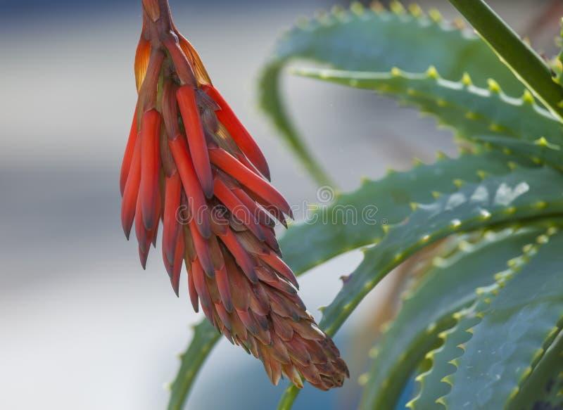 De bloem van Vera van het aloë royalty-vrije stock afbeelding