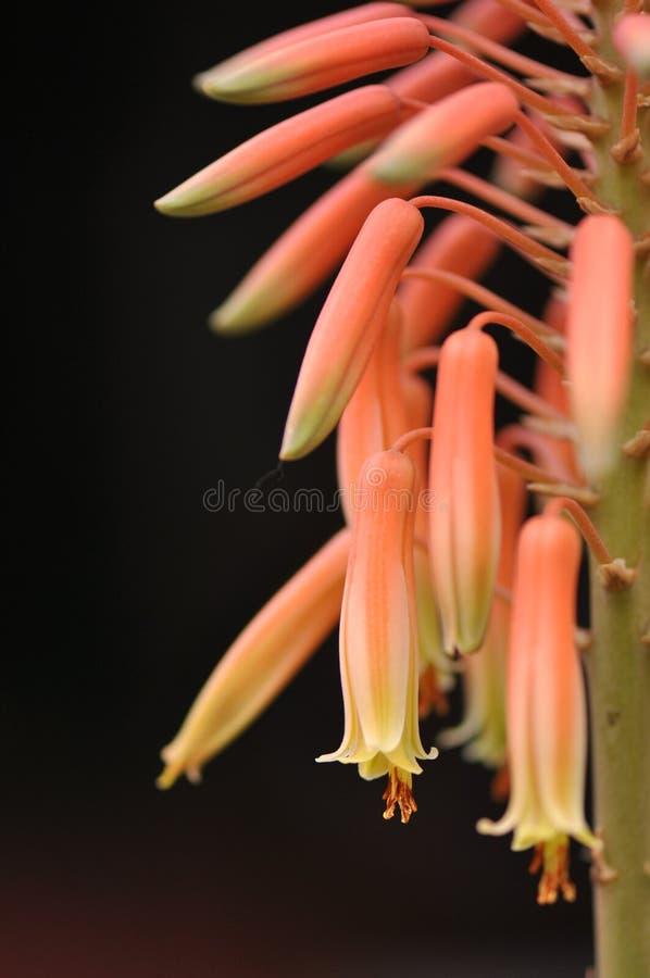 De bloem van Vera van het aloë stock fotografie