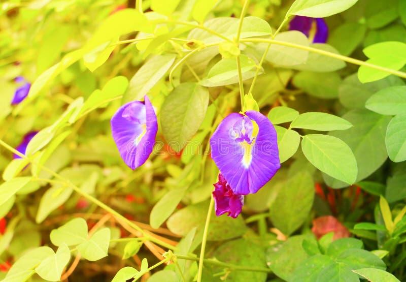 De bloem van de vlindererwt of Blauw erwt en blad in aard met ternatea L van exemplaar ruimteclitoria met zacht zonsonderganglich stock afbeeldingen