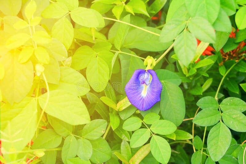 De bloem van de vlindererwt of Blauw erwt en blad in aard met ternatea L van exemplaar ruimteclitoria met zacht zonsonderganglich stock foto