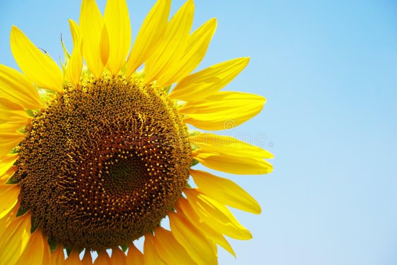 De bloem van de zon en blauwe hemel royalty-vrije stock foto's