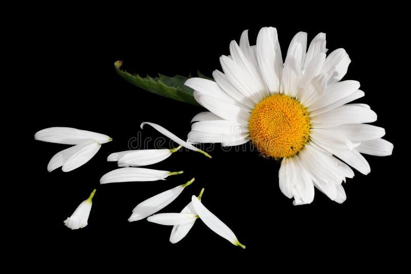 De bloemblaadjes en het madeliefje van de bloem royalty-vrije stock foto