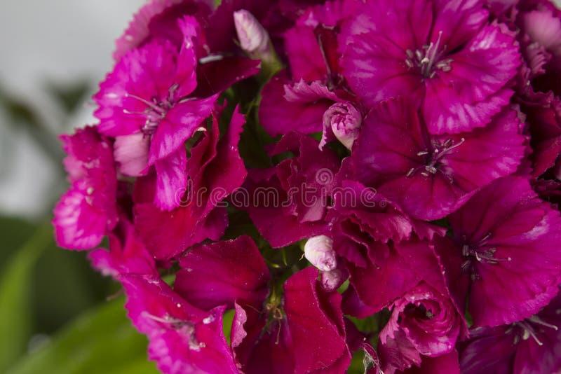 De bloemblaadjes van anjers stock foto