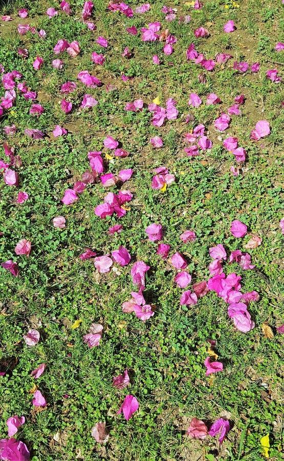 De bloemblaadjes van bougainvillea in hotel tuinieren, Kemer, Mediterrane kust, Turkije royalty-vrije stock foto's