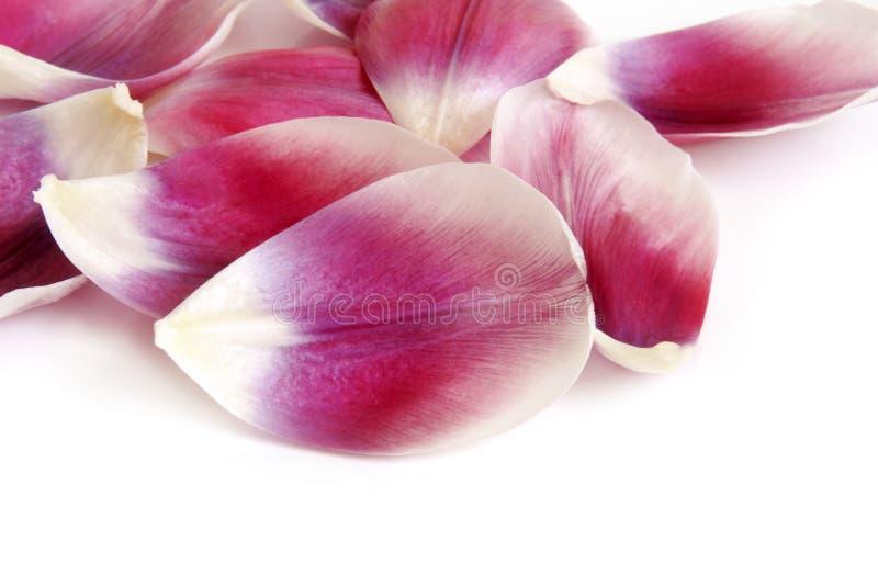 De bloemblaadjes van de close-up van tulp royalty-vrije stock fotografie