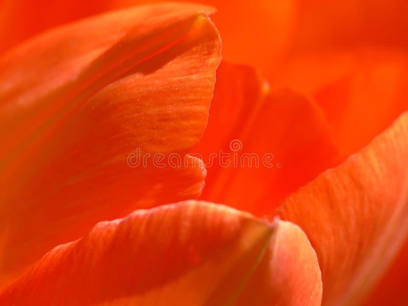 De Bloemblaadjes van de tulp stock foto