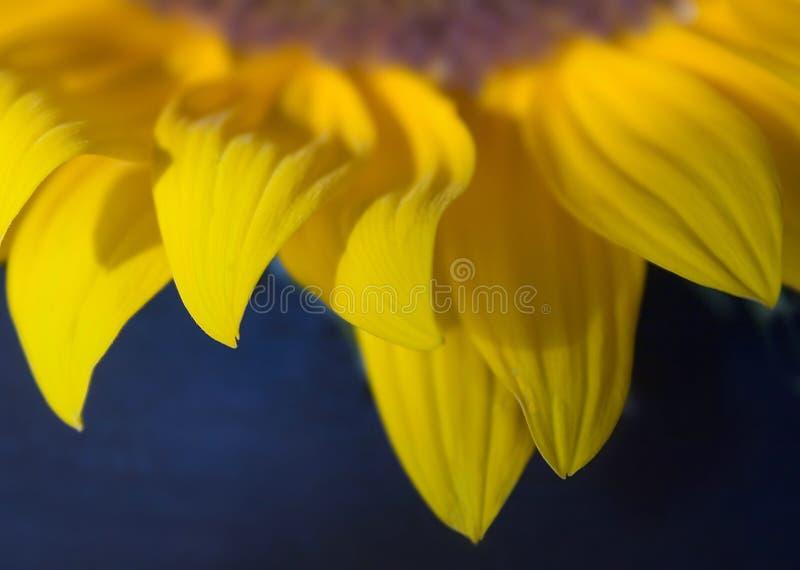 De Bloemblaadjes Van De Zonnebloem Stock Afbeelding