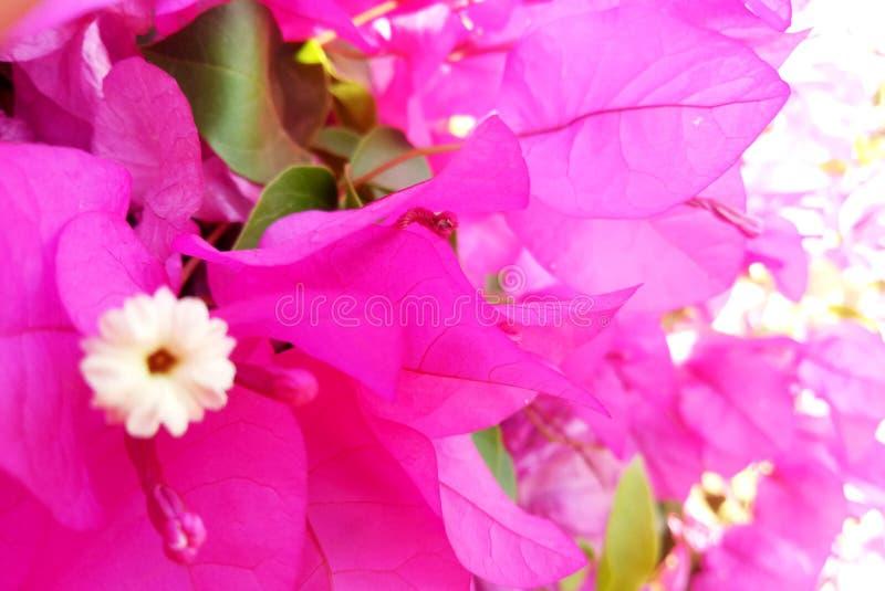De Bloemblaadjes van de lavendelkleur in Tuin stock afbeeldingen