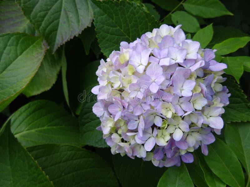 De bloembloei van lavendelhortensia royalty-vrije stock foto's