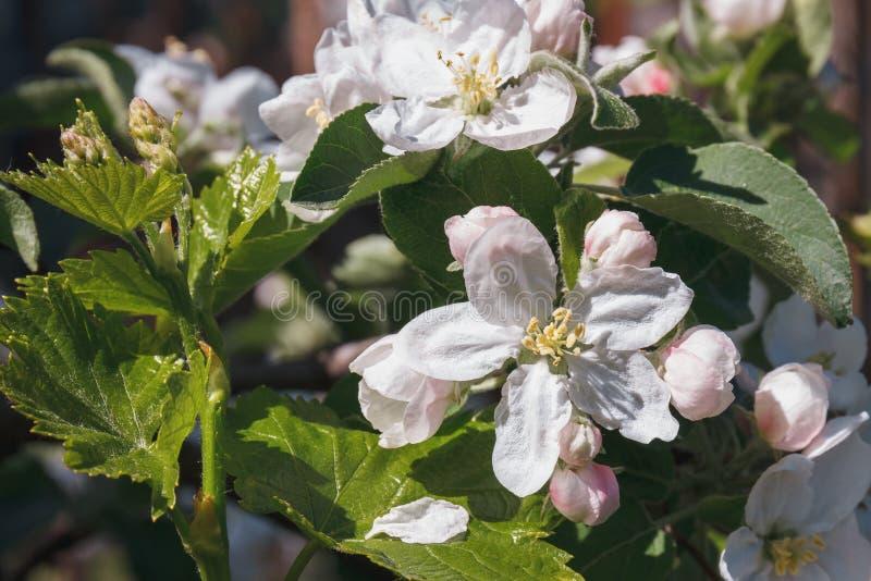 De bloembloesem van de close-up witte appel op fruitboom in de lente stock afbeeldingen