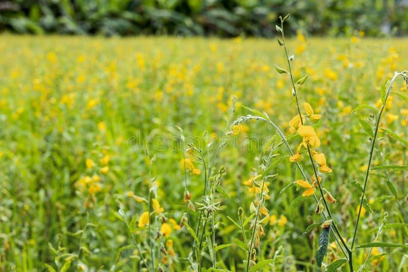 De bloembloesem van de zonhennep bij aanplanting royalty-vrije stock fotografie