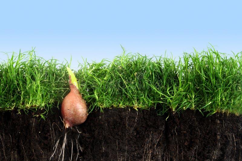 De bloembol met spruit groeit in groene wi van het grasgazon royalty-vrije stock afbeelding
