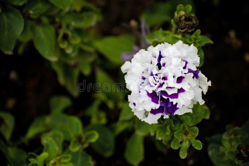 De bloemclose-up van Bourgondië van de bloempetunia Purpere bloemclose-up Gekleurde purpere Petuniahybride royalty-vrije stock foto's