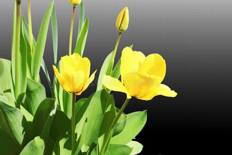 De bloemclose-up van de tulpen gele lente op zwarte witte achtergrond stock afbeelding