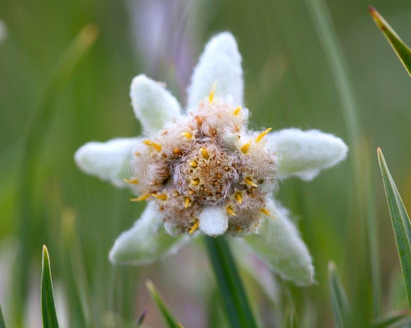 De bloemclose-up van het edelweiss royalty-vrije stock afbeelding