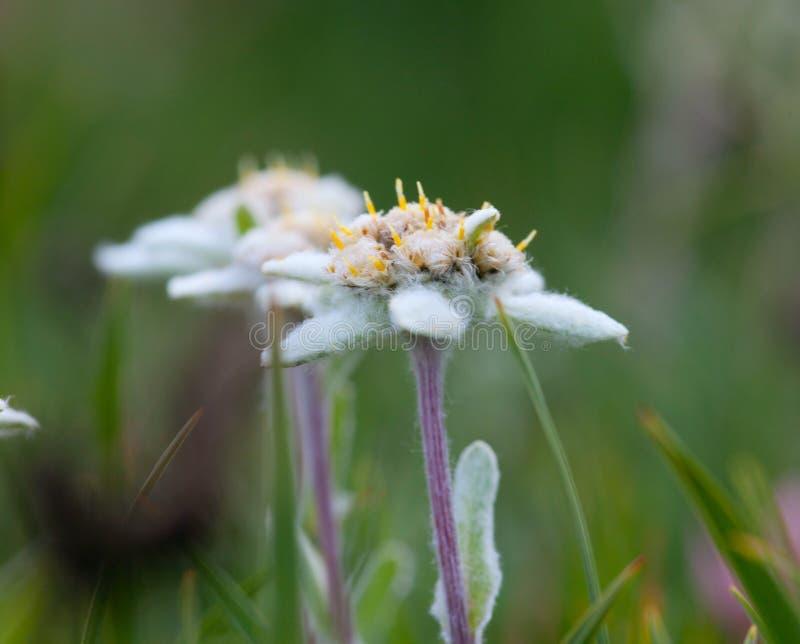 De bloemclose-up van het edelweiss stock afbeeldingen