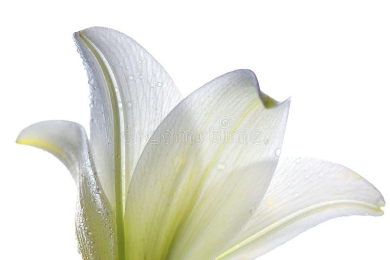 De bloemclose-up van Lilly stock fotografie