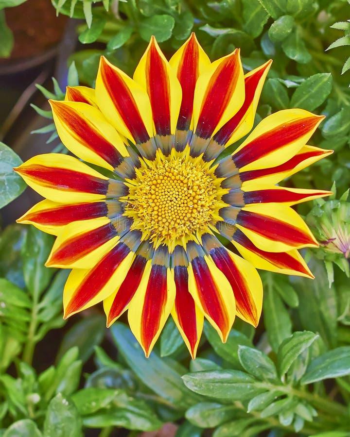 De bloemclose-up van tijgergazania royalty-vrije stock afbeeldingen